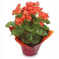 Begonia Begonia - Flowering Plant 6in, 1 Each