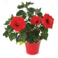 Hibiscus Hibiscus - Flowering Plant 6in, 1 Each