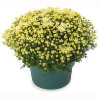 Begian - Potted Mum 12in, 1 Each