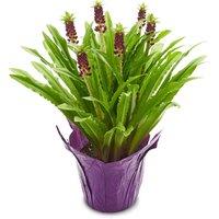 Aloha Lily Aloha Lily - Flowering Plant 6Inch, 1 Each