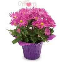 Assorted Colours: Pink, Purple, White & Yellow. Availalbe While Quantities Last.