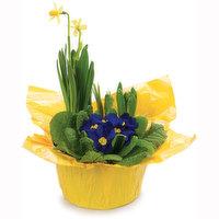 Primula Primula - Bulb Planter, 7inch, 1 Each