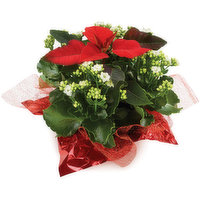 Kalsettia - Flowering Potted Plant 7inch