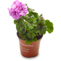 Beautiful Geranium will brighten any spot in the house!