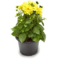 Dahlia's arevery floriferous and vigorous plants.