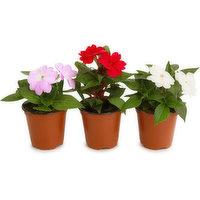 Flowering - Sunpatiens, 1 Each