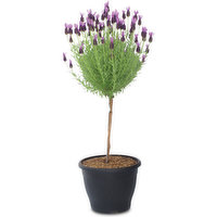 Tall, bare wooden stem topped with a ball of gray-green lavender leaves. A lavender tree is lovely in bloom & with it's fresh-smelling leaves, it's also wonderful with out flowers.