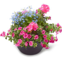 Perfect to add a pop of colour to the front of your house, or enjoy indoors.
