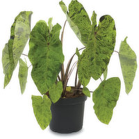 Tropical - Assorted Plants, 1 Each