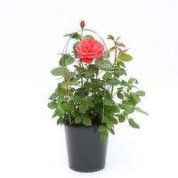 N/A - Patio Rose 2 Gallon