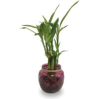 Horty Girl - Bamboo in Glass Pot 4.5In, 1 Each