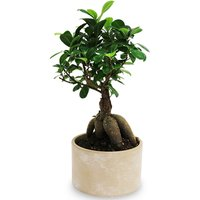 Save-On-Foods - Floral - Ficus Ginseng Bonsai in Ceramic Pot