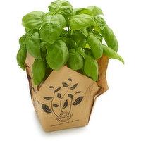 Basil - Herb, 14cm