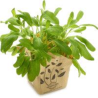 Herbs - Sage - 14cm, 1 Each