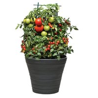 Grow your own tomatoes! Beautiful plant & perfect for many dishes.