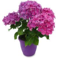 Floral - Patio Pot Hydrangea Regular, 1 Each