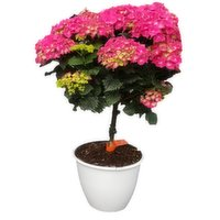 Patio - Pot Hydrangea Tree Form, 1 Each