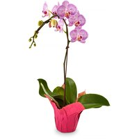 Phalaenopsis Orchid - Plant in Pot Cover 4in, 1 Each