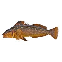 Ocean Wise - Live Ling Cod, 1 Pound