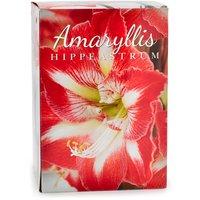 Amayllis Amayllis - Bulbs Red/White, Gift Box, 1 Each