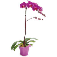 Orchid Assorted Orchid Assorted - In Plastic Pot, 1 Each