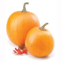 Pumpkin - Carving Squash, Large