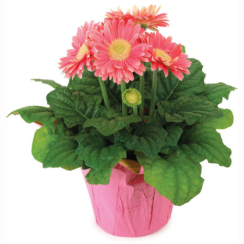Available in Assorted Colours. Please Indicate in your notes your Colour preference. Elegant Daisies Bearing Brightly Colored Flowers on Strong, Slightly Curved Stems above Slumps of Unique Foliage.