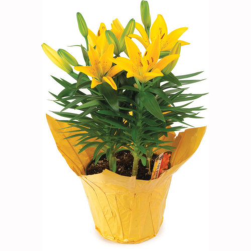 6in Hybrid Lily in Planter.