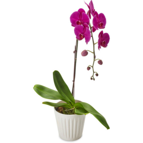 Local BC, 6 Inch. Available in Variety of Colours while Quantities Last. Please indicate in your notes at review checkout colour preference: purple, white, yellow.