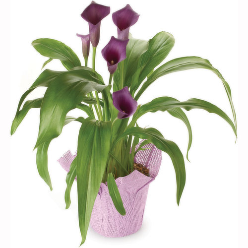 Calla lily plants are native to marshlands of South Africa