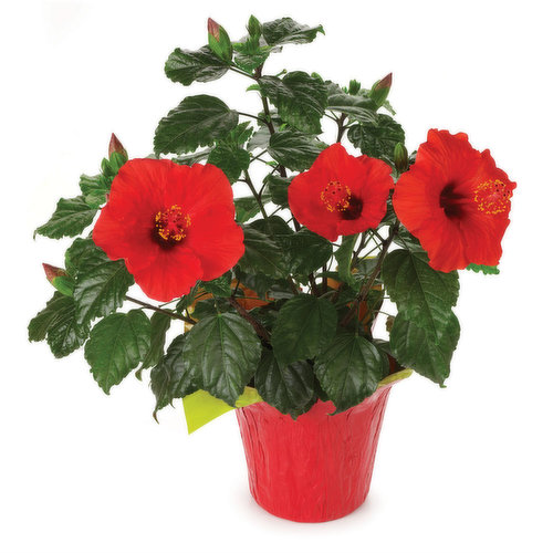 BC Grown. Big Gorgeous Flowers in Vibrant Colours to Choose From. Please Indicate Colour of Preference in your Notes :Red Yellow or Pink.