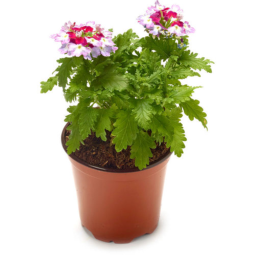 Add a beautiful pop of colour to your home with these Annuals.