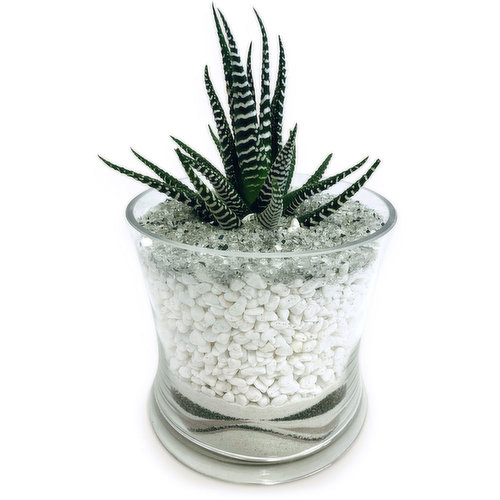 Zebra plant is a common household succuent, water when soil becomes dry.