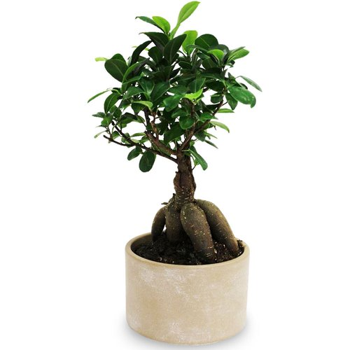 Native to the Southeast Asia, these beautiful Bonsai trees can live a very long time if well kept. Ceramic pot colors come in Tan & Black.