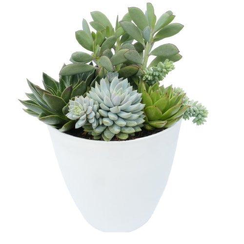 More appealing than artificial plastic or fake faux plants, and care is a cinch. Assorted Succulent