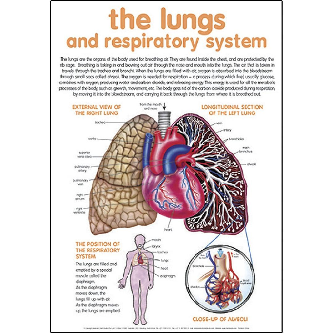 The Lungs & Respiratory System Poster