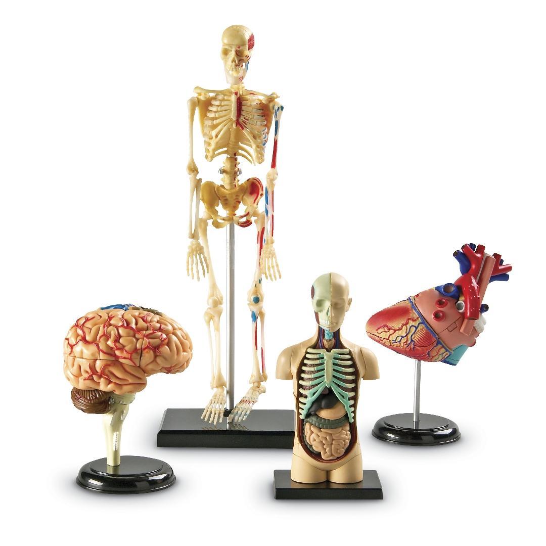 Anatomy Model Set (4pcs)