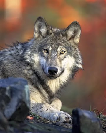 canada day 150 wolf image
