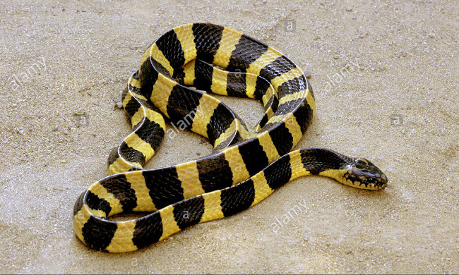 The snakes would be at the origin of the disease with coronavirus declared in China