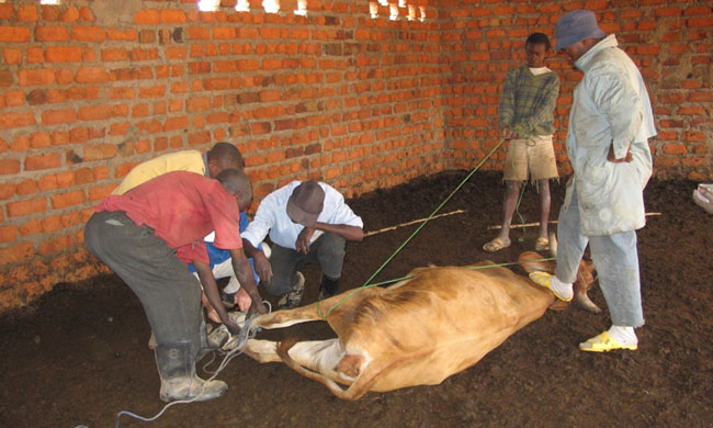 An epidemic of unknown origin decimates cows in Kwilu and Kwango provinces