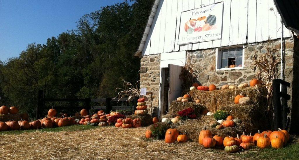 Des citoruilles pour Halloween dans une ferme en Virginie.