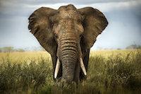 Canvastavla med elefant