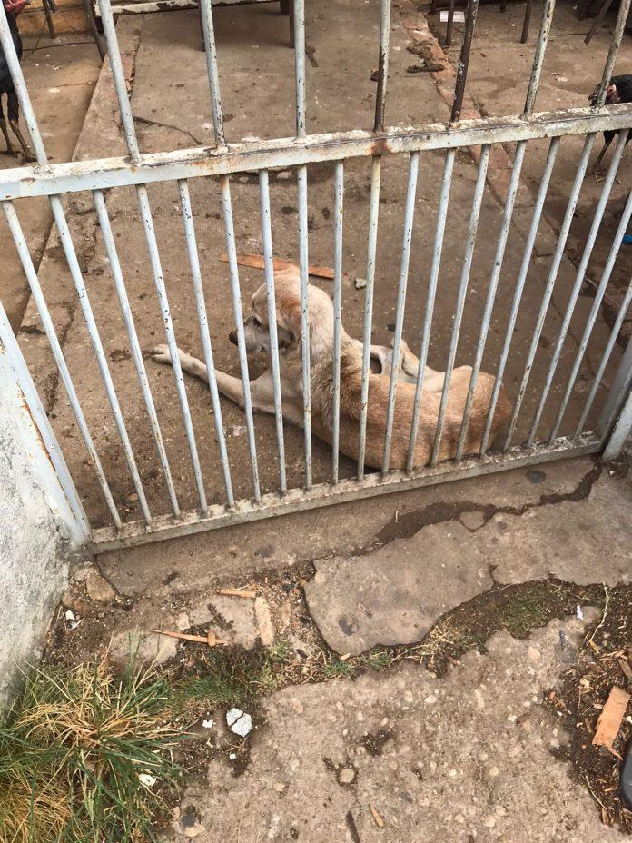 Polícia resgata cachorro que era deixado pelo dono sem comer e beber por dias