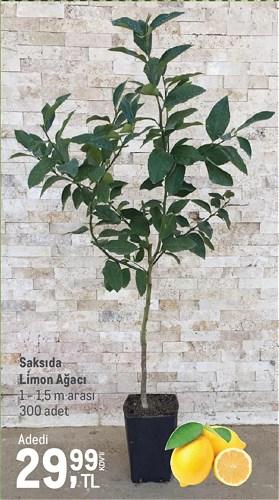 Saksıda Limon Ağacı 1 - 1,5 m arası image
