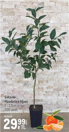 Saksıda Mandalina Ağacı 1 - 1,5 m arası image
