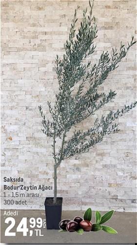 Saksıda Bodur Zeytin Ağacı 1 - 1,5 m arası image
