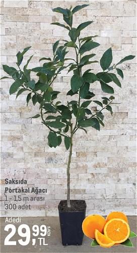 Saksıda Portakal Ağacı 1 - 1,5 m arası image