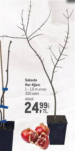Saksıda Nar Ağacı 1 - 1,5 m arası image