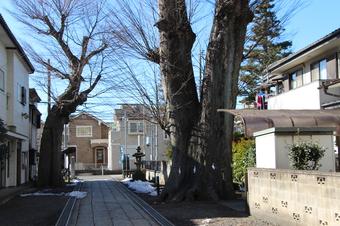 所沢神明社のケヤキNo1