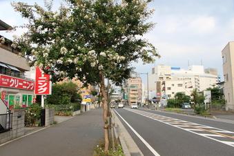 所沢駅前のサルスベリロード#390624